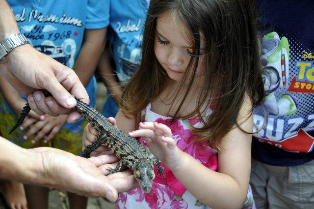 Crocodile hatching at Riverbend