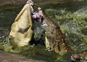Crocodile Feeding Demonstrations @ Riverbend Crocodile Farm