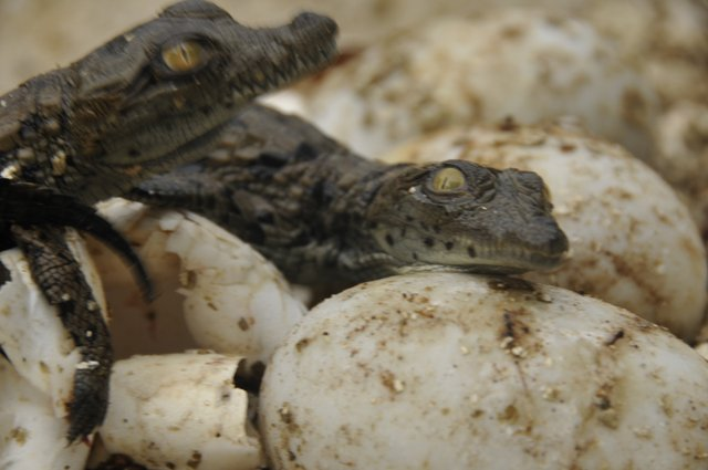 Crocodile hatching at Riverbend