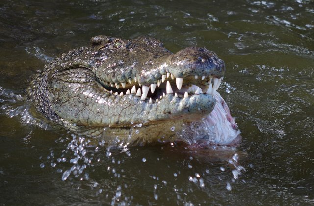 Crocodile feeding at Riverbend