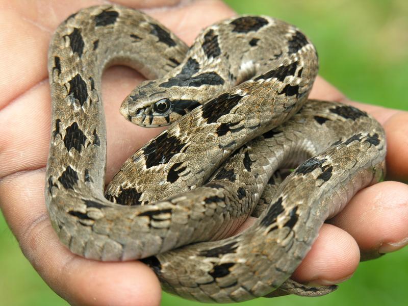 Snake Demonstrations