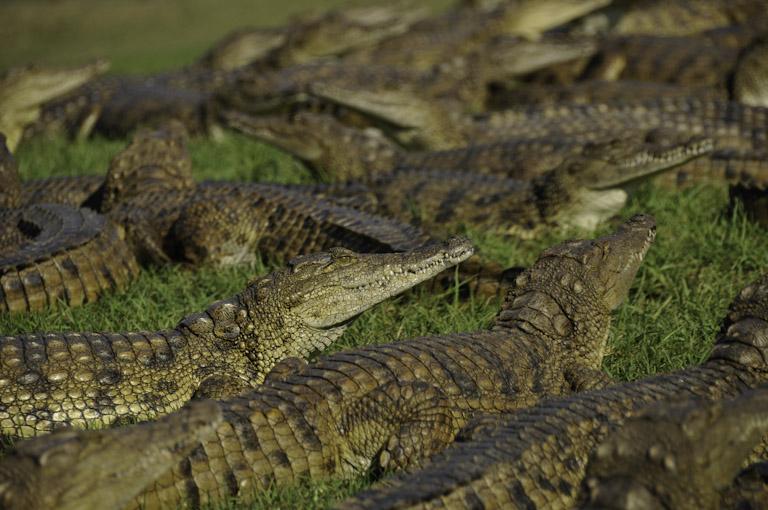 Crocodile feeding at Riverbend