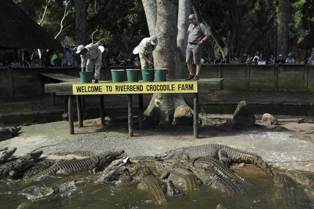 Feeding Crocodiles at Riverbend Crocodile Farm