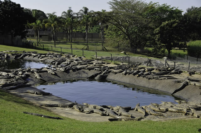Crocodiles at Riverbend Crocodile Farm