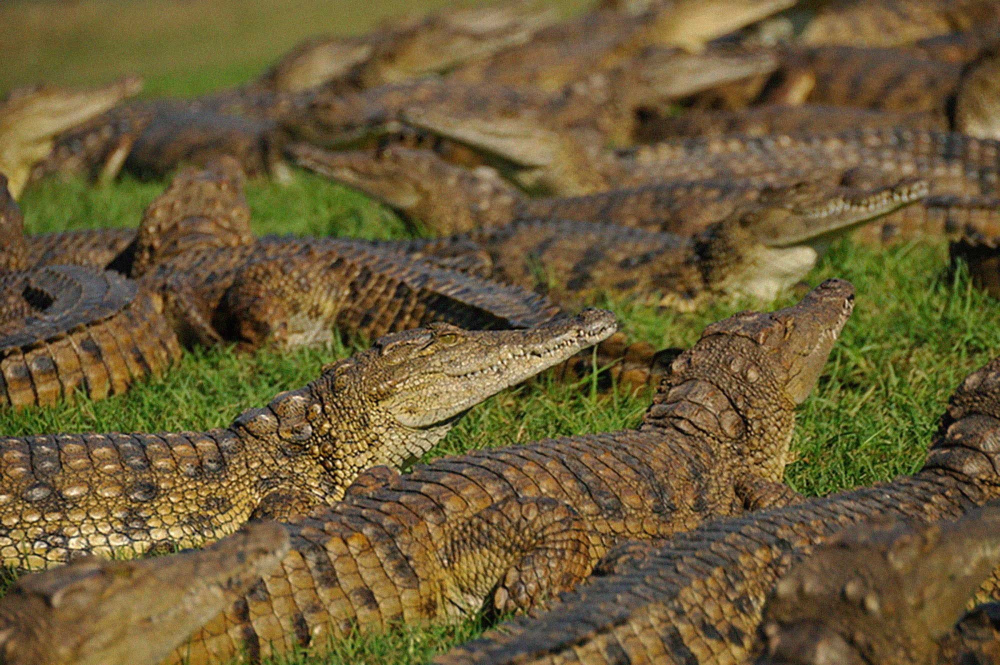 Crocodile-Background